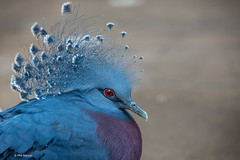 Victoria Crowned Pigeon (Goura victoria) (Phil Marion (50 million views - thanks)) Tags: philmarion 5photosaday beauty beautiful travel vacation candid beach woman girl boy wedding people explore  schlampe      desnudo  nackt nu teen     nudo   kha thn   malibog    hijab nijab burqa telanjang  canon  tranny  explored nude naked sexy  saloupe  chubby young nubile slim plump sex nipples ass hot xxx boobs dick dink