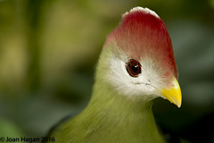Red Crested Turaco (Joan Hagan 70000k+ views. Thankyou :-)) Tags: quality wildannimals wildlife england essex vr tropicalwings chelmsford uk nikon nikonsigma50500mm outdoor animals sigma d7200 f3563g highquality joanhagan jhagan august2016 zoo zooanimals zoouk dx captivity nikon7200 nikkor