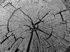 Was a Lodge-pole Pine (Ramona H) Tags: wood grain woodgrain crosssection lodgepolepine pine blackwhite craterlake nature abstract pattern