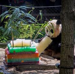 2016 Panda Party-1373 (Lora J Photography) Tags: meixiang fonz wesavespecies nationalzoo wearefonz
