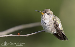 068A5157_edit_resized_wm (Lisa Snow Photography) Tags: hummingbird annas