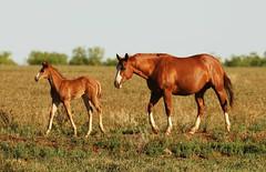 Blue Clear Sky (It Feels Like Rain) Tags: foal filly maresandfoals mare texas westtexas blueclearsky americanquarterhorseassociation aqha