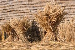 viking wheat (laughingrasputin) Tags: militaryodyssey detling kentshowground reenactors viking wheatsheaf vikingwheat