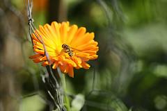 HFF (eleni m) Tags: hff fence mesh gaas calendula goudsbloem flower bloemoutdoor hoverfly zweefvlieg insect dof plant