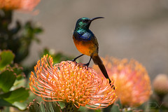 IMG_2757-3 (franzdev) Tags: franzdev fdv fdev franzdevilliers orangebreasted sunbird pincushion protea flower southafrica closeup nature outdoors