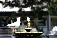 silver gull drinking water (geethamathi) Tags: geethamathivanan geethamathi silvergull bird