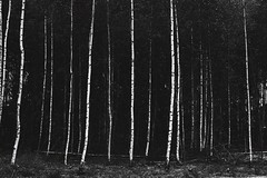 Birch (SkylerBrown) Tags: bw blackwhite blackandwhite creepy dark forest gothic haunted moody norway ominous shadows spooky travel woods nature lines