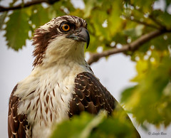 Cloudy afternoon (Islander_16) Tags: osprey ospreyportrait predator birdofprey raptor nature naturephotography outdoorphotography canon canoneos7dmii 100400 f456 100400f456isii is lens