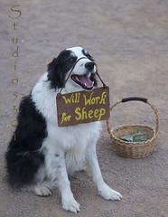 Dog_ will work for sheep 8816PatLam (Studio5301) Tags: costumes festival kids children drums kilt bellydancer drummer faire clan renaissancefaire chld arizonarenaissancefestival fairycostumes studio5301 festivalsinphoenix patricialam patricialamphotographycom