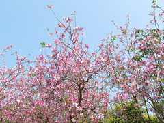 pink flowers on the tree (oneroadlucky) Tags: pink plant flower nature    bauhinia