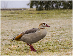 Egyptian Goose sighted @ New Jersey shore in Snow (Mike Black photography) Tags: life new red 2 wild orange white snow storm black bird mike nature water canon lens march geese is bill duck spring wings eyes day mark feathers nj first aves goose ii shore egyptian 7d jersey l fowl usm rare 100400mm mk sighting 2015