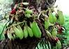 BILIMBI  #6 (3Point141) Tags: 3point141 florida fairchildtropicalbotanicgarden averrhoabilimbi bilimbi coralgables usa ghosh juliamorton onepoint618 bratboy45 16180 1point618phi oxalidaceae