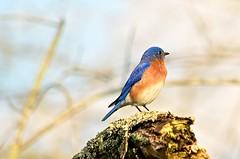 Male Eastern Bluebird - 2015 (deanrr) Tags: blue bird nature spring bokeh alabama limb easternbluebird morgancountyalabama maleeasternbluebird spring2015