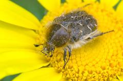 Tropinota Hirta (GeoTsia) Tags: macro insect coleoptera scarabaeidae tropinota cetoniidae flowerchafer tropinotahirta