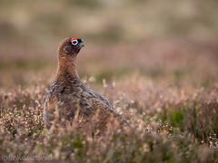 Calling (Sue MacCallum-Stewart) Tags: nature birds scotland wildlife redgrouse ebirder marcusconway