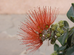 Urban flora in Santa Cruz (paramonguino) Tags: flowers flores blumen tenerife santacruzdetenerife canaryislands islascanarias kanarischeinseln 020415 p1260104 copiarw104jpg