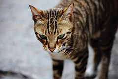 IMG_2569 (茶餘飯後) Tags: cat neko 猫 貓 5d2