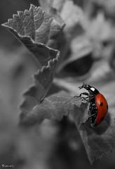 Trepadora (juancarts) Tags: naturaleza nature rojo ladybug mariquita desaturación