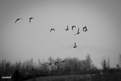 Migration de printemps (iandub74) Tags: bw flight nb formation vol migration canard iandub iandub74