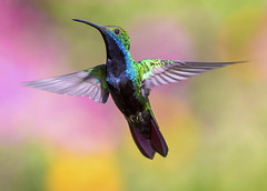 Black-throated Mango Hummingbird in flight, Yerette, Saint Joseph, Trinidad. (pedro lastra) Tags: 2 macro bird up animal fauna canon eos hummingbird close outdoor mark ii 7d trinidad mk2 caribbean mk trinidadtobago trochilidae