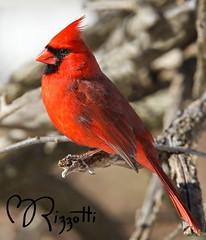 """Northern Cardinal """"The Mister"""" (girlslens) Tags: cardinal northerncardinal"""