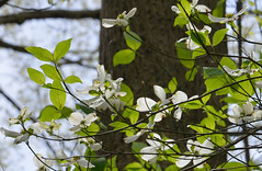 Dogwood Daze (BKHagar *Kim*) Tags: white tree nature yard spring al nikon blossom alabama athens bloom dogwood d800 limestonecounty bkhagar