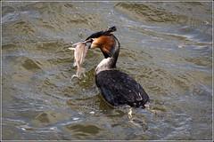 Great Crested Grebe fishing (Explored 15/4/15) (Smudge 9000) Tags: england spring unitedkingdom norfolk broad greatcrestedgrebe 2015 ranworth podicepscristatus