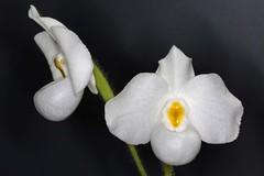Paphiopedilum delenatii 'Album' (Pterodactylus69) Tags: orchid flower fleur flor orchidaceae orquidea botany orchidee botanicgarden botanica botanik botanischergarten herrenhusergrten herrenhausen berggarten herrenhausengardens cypripedioideae