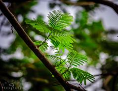 Phượng! (Duc _ Pham) Tags: green nature 5d 135mm phượng carlzeiss135mm cz135