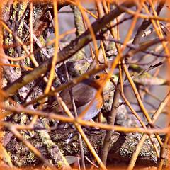 Robin Hiding! ('cosmicgirl1960' NEW CANON CAMERA) Tags: red orange nature robin birds square framed branches feathers devon rspb yabbadabbadoo dartsfarm
