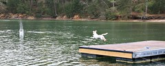 15/52 Airborne - Dock Jumping at Lake Lanier (Bella Lisa) Tags: dog lake ball jump mutt tennisball lakelanier dockjumping