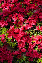 PhoTones Works #6622 (TAKUMA KIMURA) Tags: street city plant flower landscape spring scenery natural artificial azalea     kimura      takuma    a7r  photones