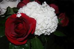 coposizione floreale (tittina64) Tags: flowers verde love rosa fotografia rosso bianco amore ortensia passione composizione sfondo fiorellini floreale nonsismettemaidiimparare