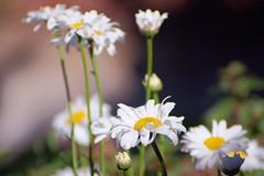 wide open (Riex) Tags: summer flower nature fleur daisies petals bokeh 300mm telephoto adapter m42 daisy bloom fujifilm blossoming marguerite t perennials blooming marguerites shallowdof screwmount osawa f55 xm1 petales fujix teleobjectif eclose pentaxmount