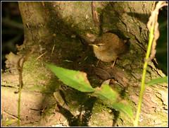 Tree Creeper baby 230716 (trevorcridlan) Tags: bird countryside chick d5200 juvinile nikon nature outdoors oxfordshire treecreeper wildlife wildbirds