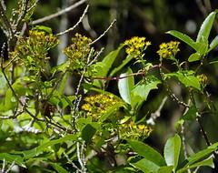 IMGP2669 Probably Cape Ivy creeper flowering in July providing nectar Zealandia Wellington 20-07-16 (Donald Laing) Tags: new zealand wellington zealandia wildlife sanctuary plants animals 2016 donald laing