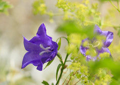 Charme du jardin (Mariette80) Tags: jardin campanules alchmillemollis