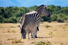 Grazing (crafty1tutu (Ann)) Tags: travel wild holiday animal southafrica stripes zebra addoelephantpark 2014 anncameron inthewild africanplains roamingfree canon100400mmlens canon7d naturethroughthelens crafty1tutu naturescarousel