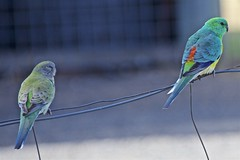 pair of Red Rump Parrots (outback traveller) Tags: historic seq
