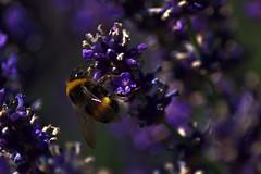 Unser Garten (Juli 2016) (Gnter Hentschel) Tags: lavendel insekten insekt garten garden grn gelb outdoor deutschland germany germania alemania allemagne europa nrw nikond3200 nikon d3200 pflanze blume bokeh schrfentiefe