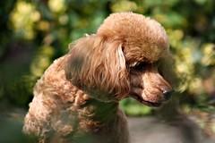 More Milo (Donna JW) Tags: picmonkey dog pet animal redpoodle miniaturepoodle