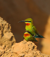 Blue Tailed Bee Eater Mating (Wasif Yaqeen) Tags: pakistan nature birds animals outdoor wildlife mating animalplanet nationalgeographic beeeater birdshabitat bluetailed bluetailedbeeeater wasif birdsofpakistan wildlifeofpakistan pakistanwildlife pakistannature birdsinnaturalhabitat wasifyaqeen wasifyaqeenphotography bluetailedbeeeatermating