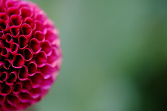 Dahlia (Minami45) Tags: pink dahlia red tokyo fujifilm     xpro1