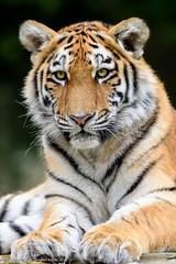 Milashki (Dave Kiddle) Tags: bear park david animal cat big wolf tiger lion safari captive woburn kiddle milashki davidstephenkiddle davekiddle davidkiddle davekiddlephotography