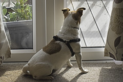Ever Vigilant - 52 Weeks For Dogs, 31/52 (me'nthedogs) Tags: 52weeksfordogs 3152 snaps terrier jackrussell jrt onguard