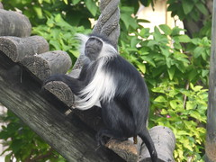 Sigh! How many steps is it again? (vbvacruiser) Tags: cruise vacation tampa zoo florida caribbean primate ncl lowryparkzoo colobusmonkey norwegiancruiseline nclstar