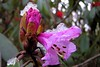 Rhododendrons in The Wild (pallab seth) Tags: pink wild india mist flower nature digital spring asia blossom glory wildlife species variety himalayas northsikkim yumthangvalley nikoncoolpixp3 shingbarhododendronsanctuary