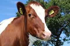 Olympic Future Dream (excellentzebu1050) Tags: dairycows cattle cow closeup farm animal animalportraits outdoor coth5