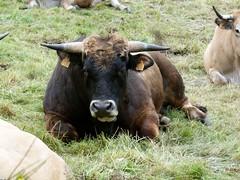 Le taureau est dans le pr....... (brigeham34) Tags: france rando eu campagne chemin auvergne vaches taureau hauteloire gr65 viapodiensis raceaubrac cheminsdecompostelle champsetptures fz45 saugueslesauvage