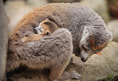 Mother Lemur with Baby (charlieishere@btinternet.com) Tags: bristolzoo lemur mother baby clinging fir